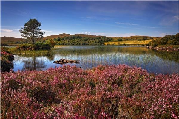 Purple Heather Around Loch - Canvas Print