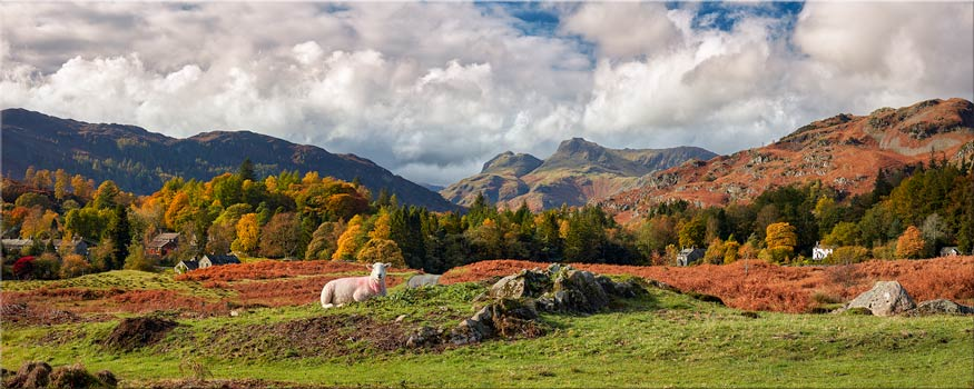 Sheep on Elterwater Common - Canvas Print
